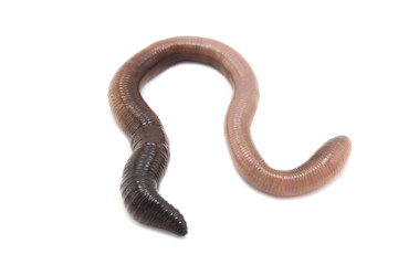 large earthworm on a white background