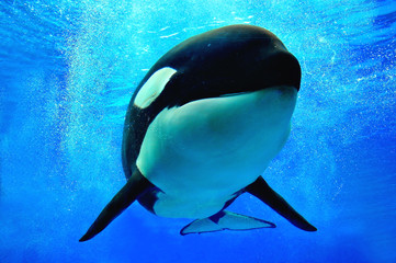 Killer whale swimming underwater with bubbles surrounding him.