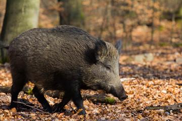 Wildschwein in seinem Lebensraum Wald