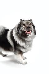 frecher Hund Wolfsspitz