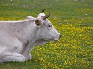 mucca al pascolo
