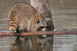 Raccoon (Procyon lotor) Sniffs at Log poster