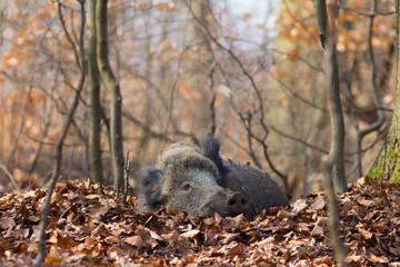 ruhende Wildschweine im Tageslager