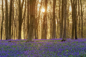 Bluebell woodland sunrise
