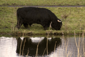 black highlander bull reflected in water