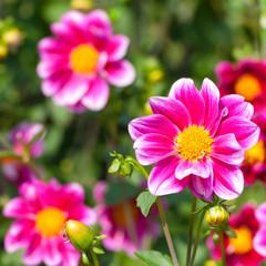 Pinkfarbene Dahlien, Dahlia, Sommerblumen im Garten