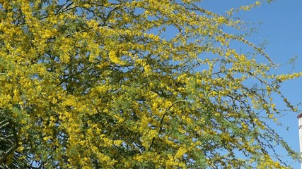 Flowering Palo Verde Tree. Phoenix. Arizona, USA.