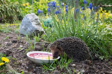 Igel frißt im Garten ein Ei