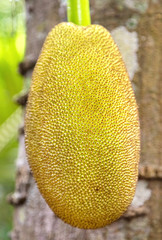 Jackfruit hanging from the trunk