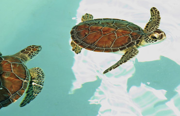 Endangered mexican turtles