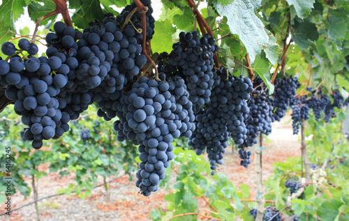 In de dag Wijngaard Red grapes.