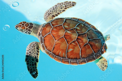 Foto op Canvas Schildpad Endangered mexican turtle