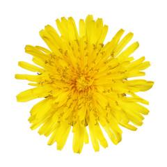 Yellow Dandelion Flower Isolated on White. Taraxacum officinale.