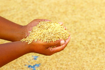Rice kernel in farmer's hand.