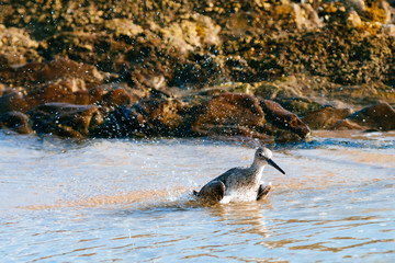 Willet washing itself up