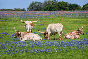 Texas longhorn cattle in bluebonnet wildflower pasture