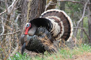 Wild Male Turkey
