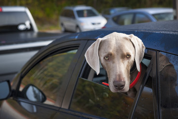 Dog waiting in car