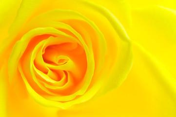 黄色 薔薇