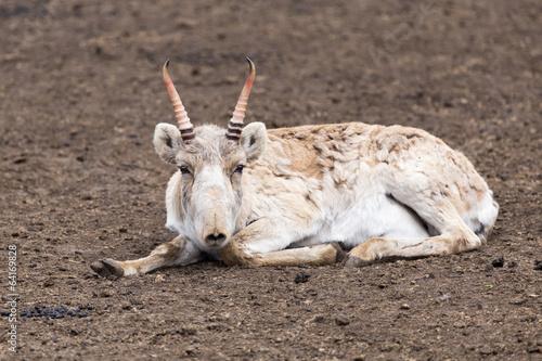 Fotobehang Antilope Saiga antelope
