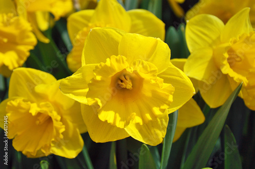 Foto op Canvas Narcis Yellow daffodils