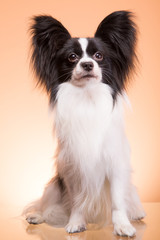 Beautiful papillon dog sitting on pink background