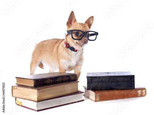 chihuahua and glasses