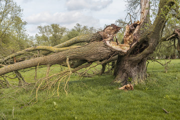 Broken old willow tree
