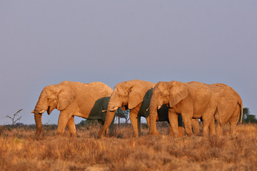 Elephants at sunset in  Etosha National Park