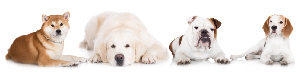 dogs lying down on white