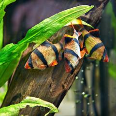 Aquarium fishes. Barbus puntius tetrazona