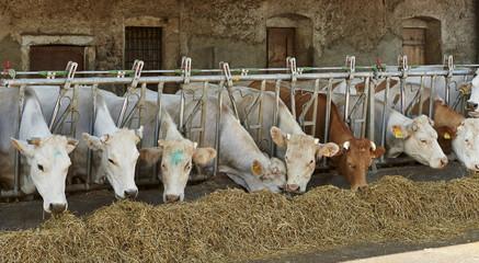 mucche da latte