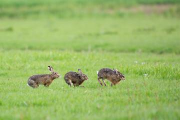 Running European hares