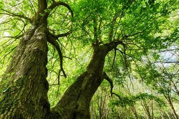 Huge maple tree