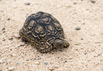 A Tortoise Land Turtle