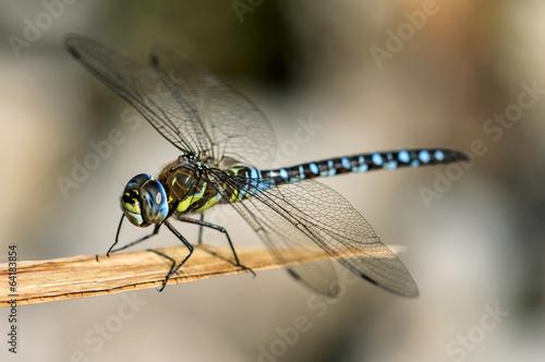 Leinwanddruck Bild Libelle