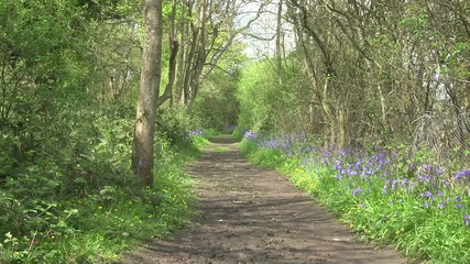 Bluebells flowering either side of a woodland path in England