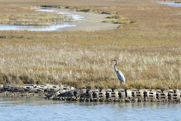 Blue Heron in Aransas Pass