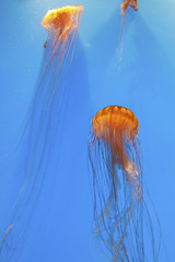 Brown and Gold Sea Nettles