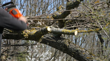 Worker falled a large ash tree.
