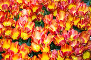 Tulipani tardivi gialli e rossi - Darwin