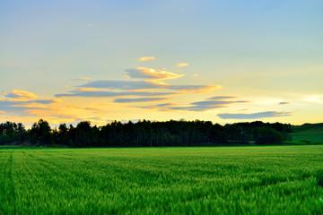 早朝の麦畑