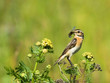 Whinchat with prey