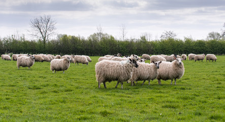 flock of sheep in meadow