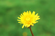 Beautiful dandelion in grass outdoors