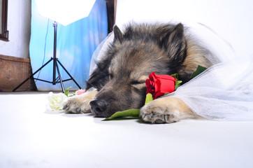 Hund im Fotostudio