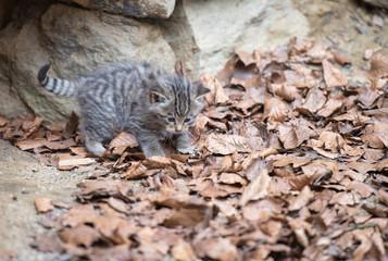 Wildkatzen Baby