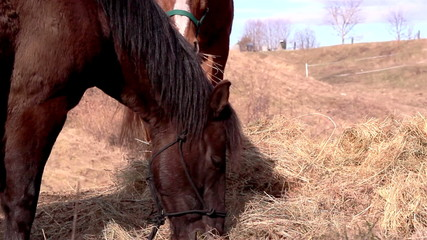 Horses eating and chewing grasses
