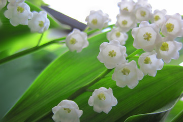 Lilly of valley in green leaves