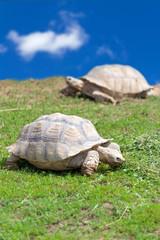 Two large tortoises